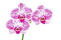 orchids άνθισης phalaenopsis Στοκ Φωτογραφία