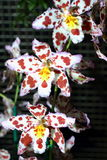 Orchids αγελάδων Στοκ Εικόνες