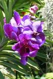 orchids βιολέτα Στοκ Φωτογραφίες