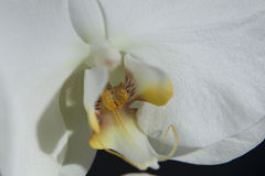 orchids λευκό Στοκ εικόνα με δικαίωμα ελεύθερης χρήσης