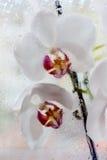orchids λευκό Στοκ εικόνες με δικαίωμα ελεύθερης χρήσης