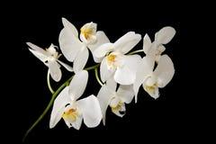 orchids λευκό στοκ εικόνα
