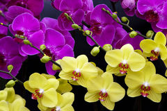 Orchids πεταλούδων Στοκ Φωτογραφία