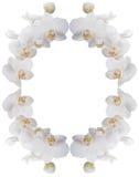 orchids πλαισίων λευκό Στοκ Φωτογραφία