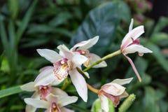 orchids πορφυρό λευκό Στοκ Εικόνα