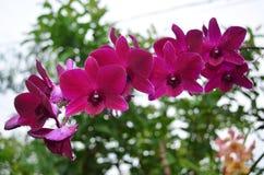orchids πορφύρα Στοκ εικόνες με δικαίωμα ελεύθερης χρήσης