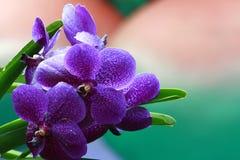 orchids πορφύρα Στοκ Φωτογραφία