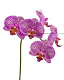 Orchids. In isolated white background.  Location: Langhorne, PA Royalty Free Stock Photography