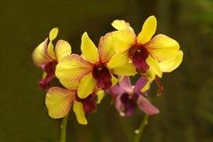 orchids Immagini Stock