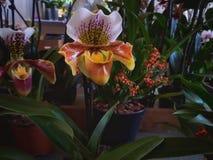 orchids fotografie stock libere da diritti