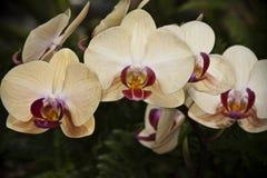 orchids Στοκ φωτογραφία με δικαίωμα ελεύθερης χρήσης