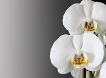 Orchids. White orchids isolated on a dark background Stock Photography