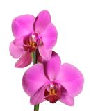 Orchids. Two orchid isolated in intense fucsia color Royalty Free Stock Photography