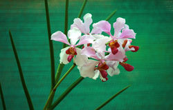 Orchids. Light pink and brown centred orchids on dark green background Royalty Free Stock Photography