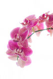 Orchids. Beautiful, vibrant orchids on a soft white backdrop Royalty Free Stock Photo