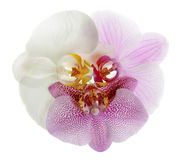 Orchids. Three flower orchid  on a white background Stock Photography