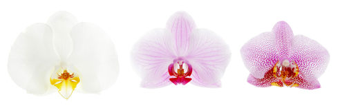 Orchids. Three flower orchid  on a white background Royalty Free Stock Photography