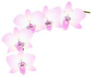 Orchids. Royalty Free Stock Photography
