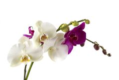 Orchids Royalty Free Stock Images