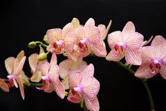 Orchids Stock Image