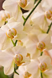 Orchids. Frame filling shot of beautiful soft colored orchid flowers Royalty Free Stock Photo