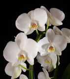 Orchids. White flowers on black background Royalty Free Stock Photography