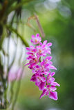 Orchids. The beautiful orchids in Thailand Stock Photography