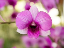 orchids Imagens de Stock Royalty Free