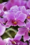 orchids Fotografia Stock