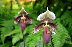 orchids Στοκ εικόνες με δικαίωμα ελεύθερης χρήσης