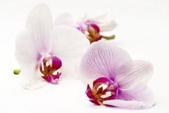 Free Orchids Stock Image - 5647291