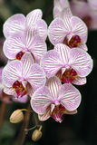 Orchids-6 Royalty Free Stock Photography