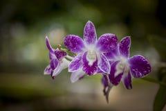 orchids Immagine Stock Libera da Diritti
