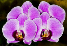 Orchids. Close up on a pink orchids in the garden Royalty Free Stock Photos