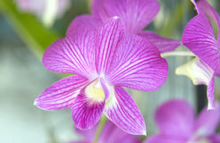 Orchids. Beautiful Purple Orchid Flowers Outside Royalty Free Stock Photo