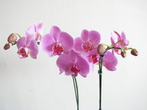 orchids Foto de Stock Royalty Free