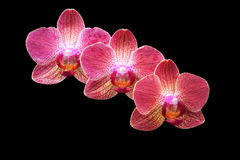 Orchids. Three pink orchids against black background Stock Photos