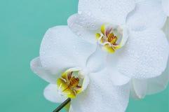 orchids Στοκ Εικόνες