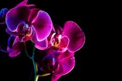 orchids Royaltyfria Foton