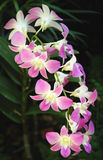 Orchids. At Singapore Botanical Garden royalty free stock images