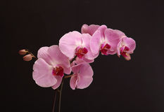 Orchids. Sprig of lilac orchid with buds on a black background Royalty Free Stock Photography