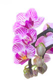 Orchids. Purple Orchids on a withe background Stock Image