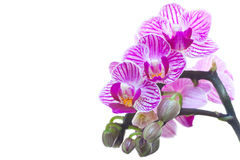 Orchids. Purple Orchids on a withe background Royalty Free Stock Image