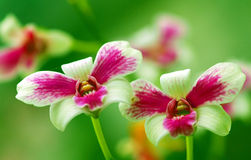 Orchids royalty free stock photo