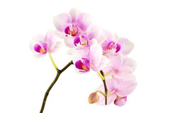 Orchids against white background Royalty Free Stock Photos