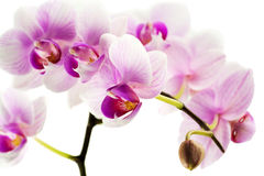 Orchids against white background Stock Image