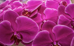 Orchids Royalty Free Stock Image