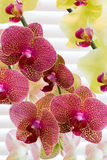 Orchids bathed by window light. Magnificent Phalaenopsis Orchids at full bloom Stock Photos
