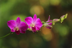 Orchids. Are beautiful Royalty Free Stock Image