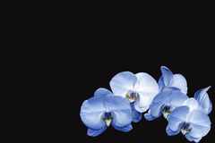 Orchids. Beautiful orchids isolated on a black background Royalty Free Stock Photo